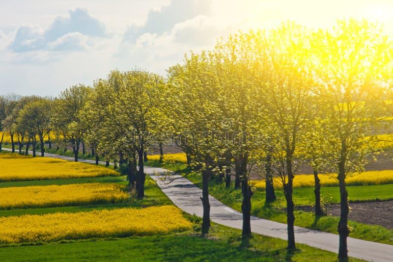 Ένας πράσινος τομέας που φυτεύεται με τον κίτρινο συναπόσπορο ανθίζει ενάντια σε έναν μπλε θερινό ουρανό πορεία με τα δέντρα μετα στοκ φωτογραφία