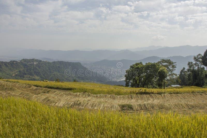 Ένας πράσινος ωριμασμένος τομέας ρυζιού στο υπόβαθρο της πόλης σε μια κοιλάδα βουνών συγκομιδή στοκ φωτογραφία με δικαίωμα ελεύθερης χρήσης