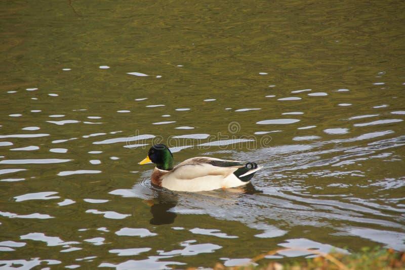 Ένας πρασινολαίμης παπιών στο νερό - η φύση είναι όμορφη στοκ εικόνες