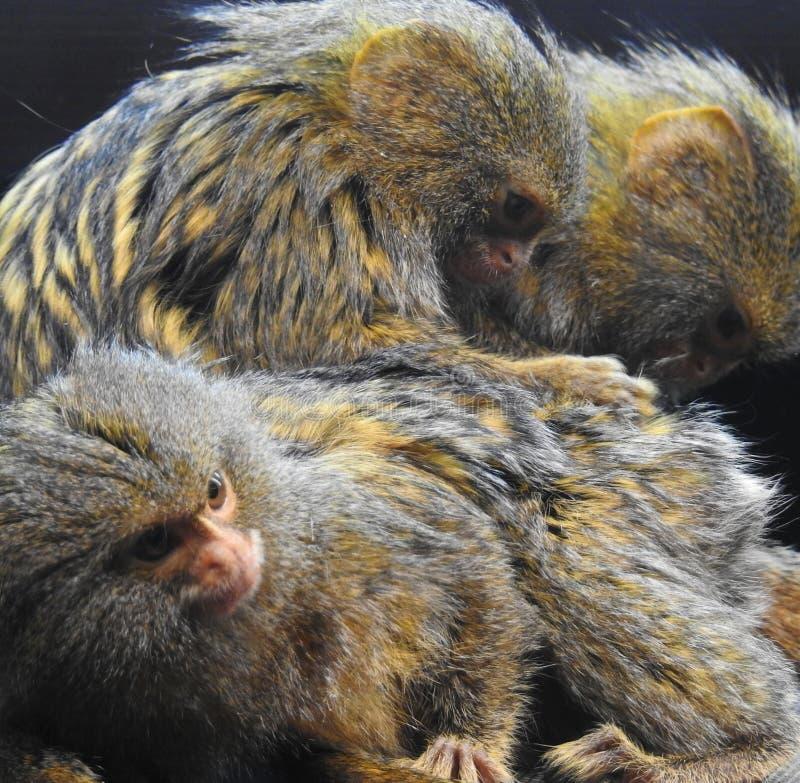 Ένας πυγμαίοι πίθηκος marmoset/ένα pygmaea Cebuella καλλωπίζει άλλο στοκ εικόνα