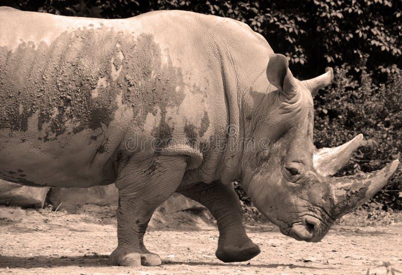 Ένας ρινόκερος στοκ φωτογραφία