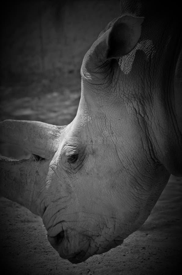 Ένας ρινόκερος στοκ εικόνα