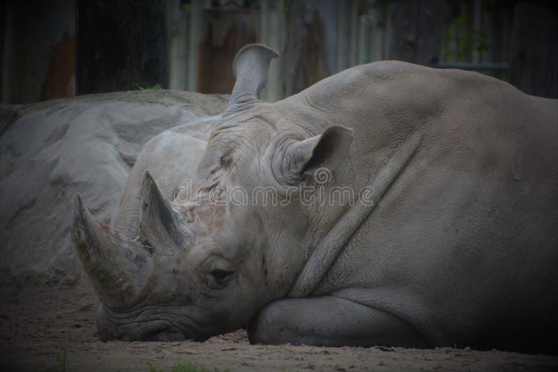 Ένας ρινόκερος στοκ εικόνες