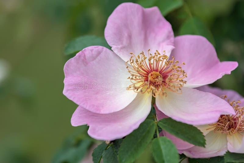 Ρόδινος αυξήθηκε αυξανόμενος στον κήπο στοκ εικόνα με δικαίωμα ελεύθερης χρήσης