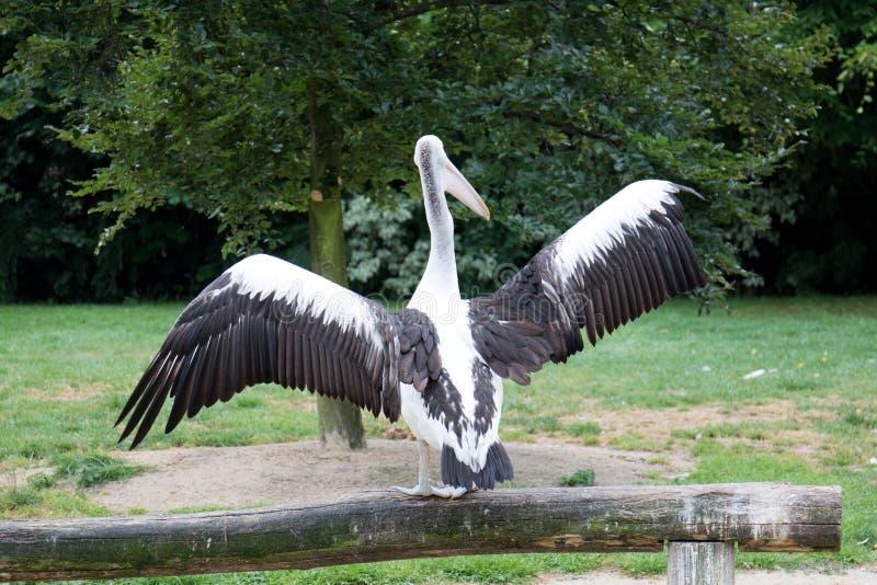 Ένας ρόδινος πελεκάνος που διαδίδει έξω τα φτερά του στενό σε επάνω στοκ φωτογραφία