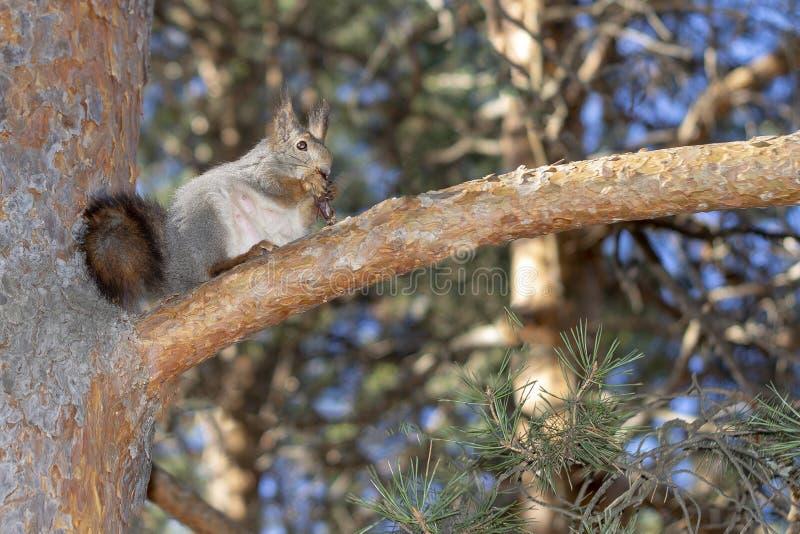 Ένας σκίουρος, γκρίζος, κάθεται σε ένα δέντρο και τρώει ένα καρύδι σε ένα πάρκο στη Σιβηρία στοκ εικόνες με δικαίωμα ελεύθερης χρήσης