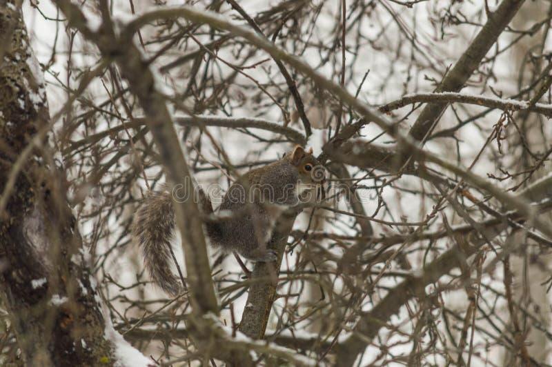 Ένας σκίουρος σταματά σε ένα χιονώδες δέντρο στοκ εικόνα με δικαίωμα ελεύθερης χρήσης