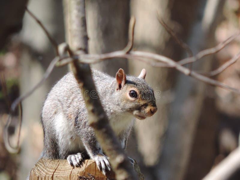 Ένας σκίουρος στα δέντρα στοκ εικόνα