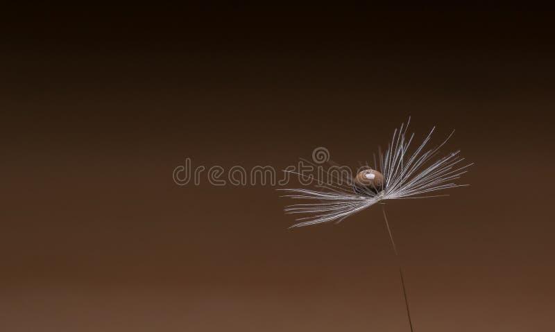 Ένας σπόρος λουλουδιών πικραλίδων με μια ενιαία πτώση νερού στοκ φωτογραφία με δικαίωμα ελεύθερης χρήσης