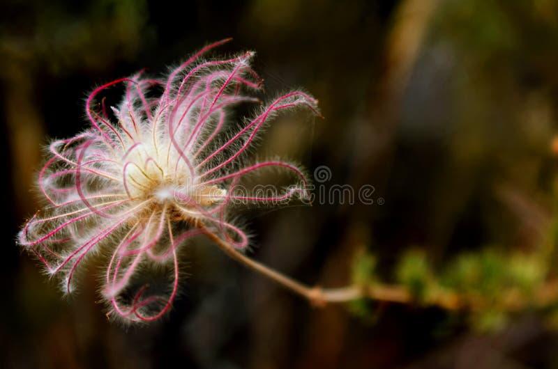 Ένας στενός επάνω μακρο πυροβολισμός ενός μικρού, ρόδινου, λεπτού λουλουδιού ερήμων Λήφθείτε στον κόκκινο βράχο, Νεβάδα στοκ φωτογραφία