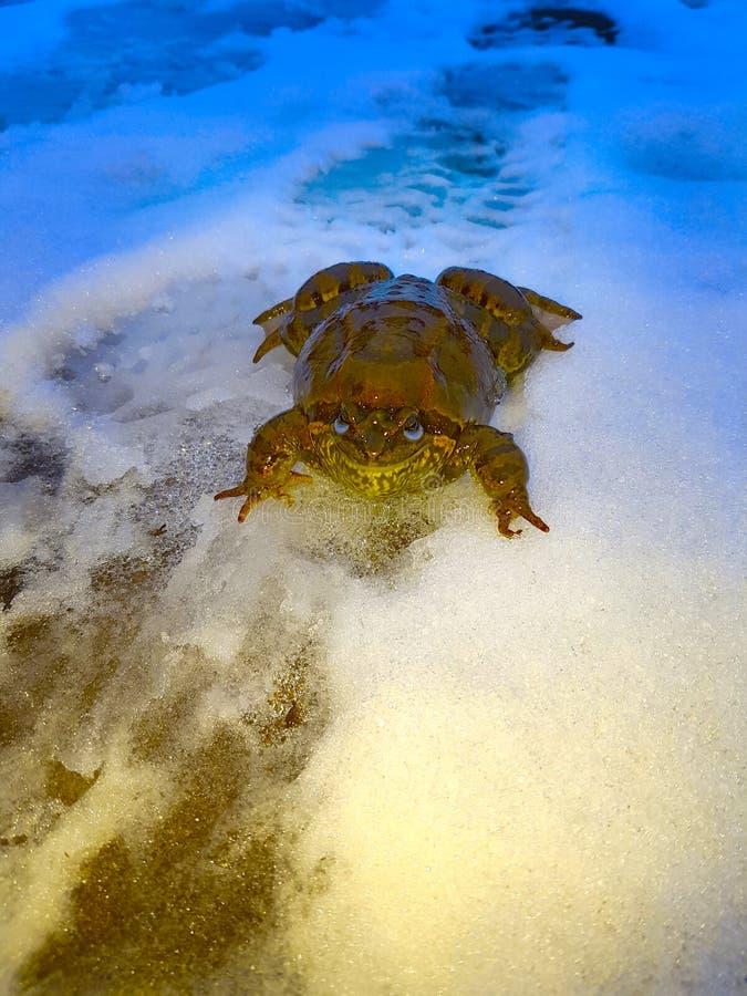 Ένας τεράστιος καφετής βάτραχος, ο φρύνος κάθεται στο χιόνι με το κίτρινος-μπλε φως του φαναριού στοκ εικόνες