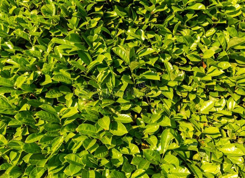 Ένας τοίχος των πράσινων φύλλων ως υπόβαθρο στοκ φωτογραφία