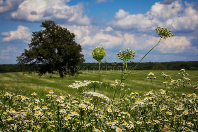 Ένας τομέας άσπρου Wildflowers στοκ εικόνα