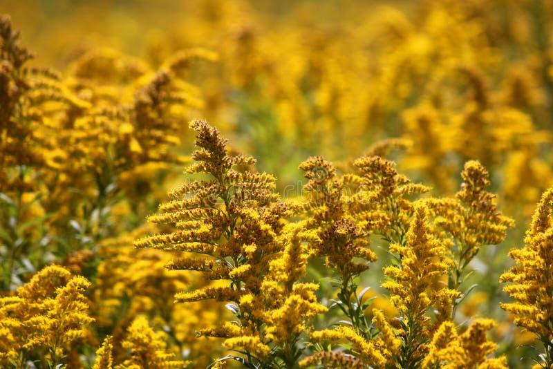 Ένας τομέας με τα κίτρινα wildflowers στοκ φωτογραφία