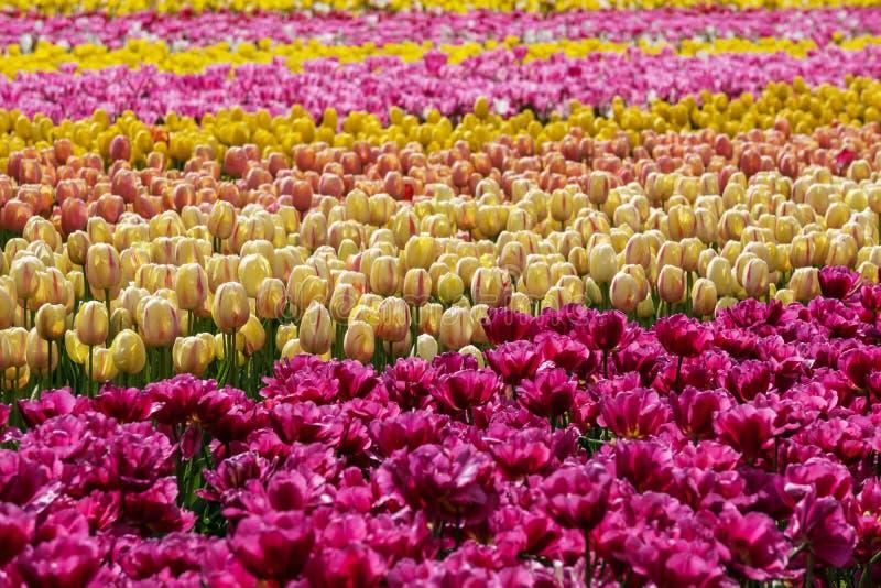 Ένας τομέας του κίτρινου και κόκκινου αγροκτήματος χωρών τουλιπών στοκ φωτογραφία με δικαίωμα ελεύθερης χρήσης