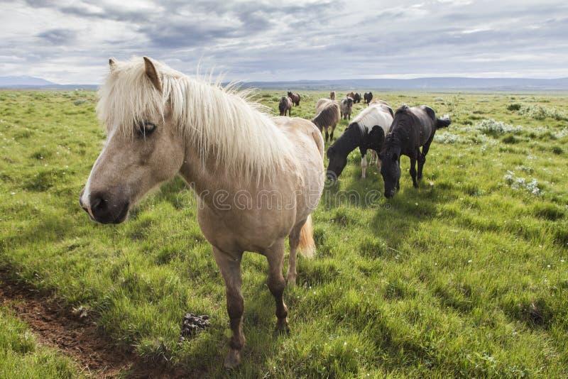Ένας τομέας των ισλανδικών αλόγων στοκ εικόνα με δικαίωμα ελεύθερης χρήσης