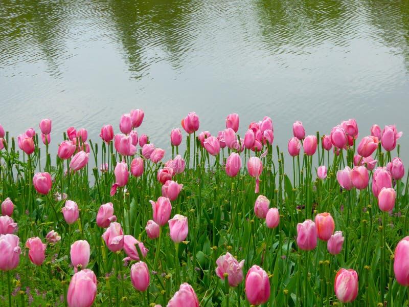 Ένας τομέας των ρόδινων τουλιπών που ανθίζουν κοντά σε μια λίμνη στοκ φωτογραφίες με δικαίωμα ελεύθερης χρήσης