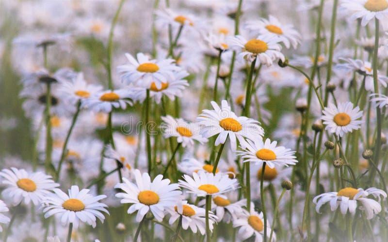 Ένας τομέας των τέλειων άσπρων & κίτρινων μαργαριτών!!! στοκ εικόνες με δικαίωμα ελεύθερης χρήσης