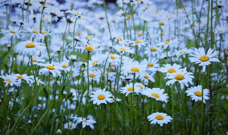 Ένας τομέας των τέλειων άσπρων & κίτρινων μαργαριτών!!! στοκ φωτογραφίες με δικαίωμα ελεύθερης χρήσης
