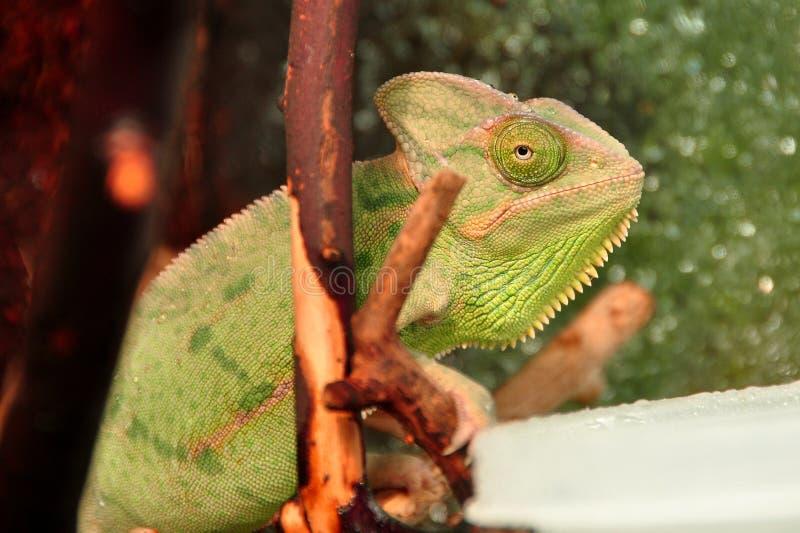 Mr.Chameleon στοκ φωτογραφία