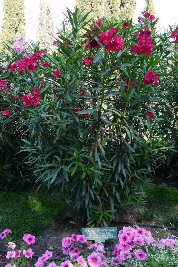 Ένας ψηλός θάμνος με τους μακροχρόνιους μίσχους και τα πράσινα φύλλα του όμορφου κόκκινου ΛΦ στοκ φωτογραφία με δικαίωμα ελεύθερης χρήσης