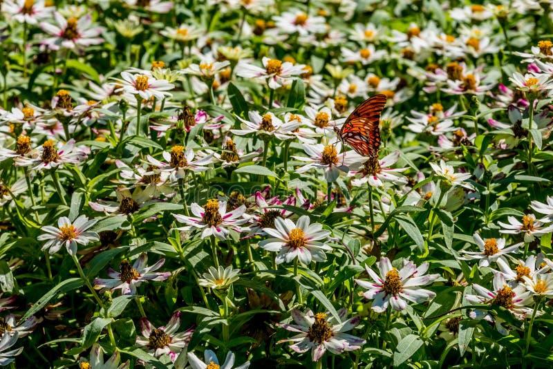 Ένας όμορφος Κόλπος Fritillary ή πεταλούδα πάθους σε μια θάλασσα των άσπρων λουλουδιών στοκ εικόνα με δικαίωμα ελεύθερης χρήσης