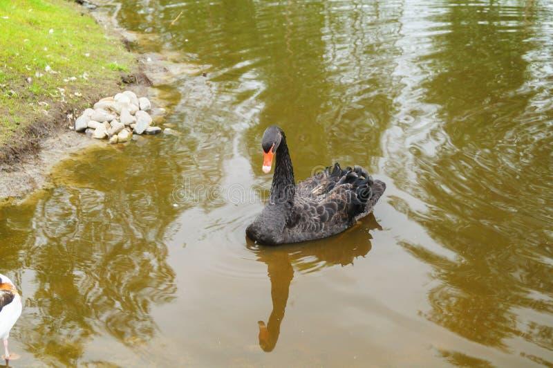 Ένας όμορφος μαύρος Κύκνος που επιπλέει στη λίμνη στην Καρελία στοκ φωτογραφία