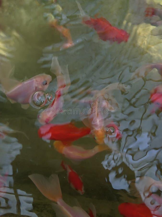 Ένας όμορφος σεφ χρυσόψαρων σε μια λίμνη στοκ εικόνες