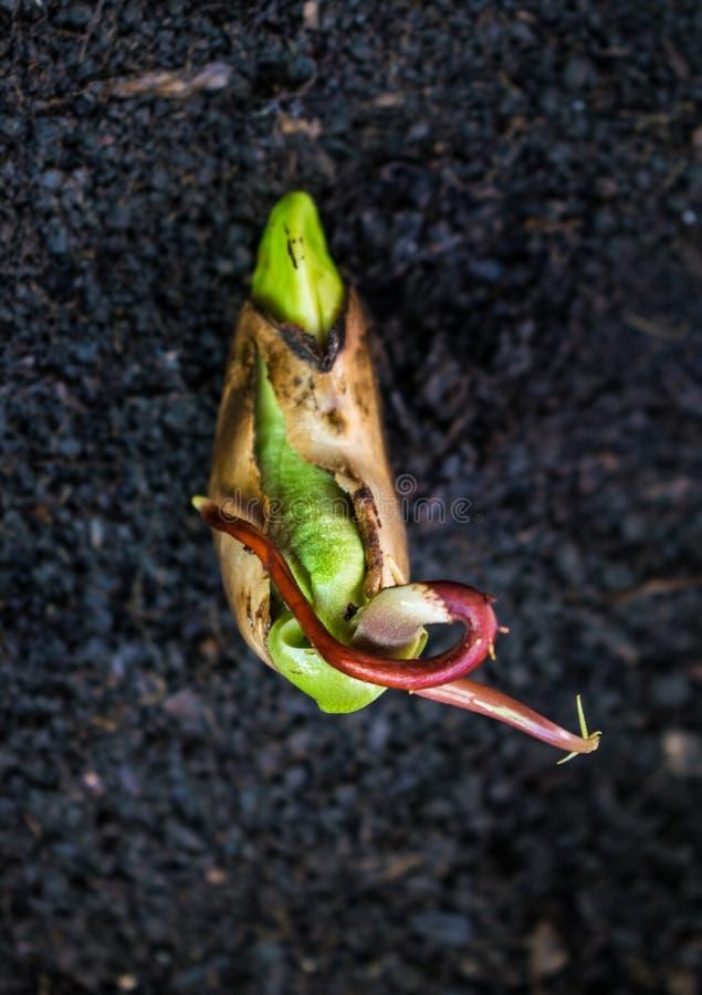 Ένας όμορφος σπόρος μάγκο στο στάδιο όπου μπορεί να φυτευτεί Ο σπόρος μάγκο είναι έτοιμος για τη φύτευση στοκ εικόνες