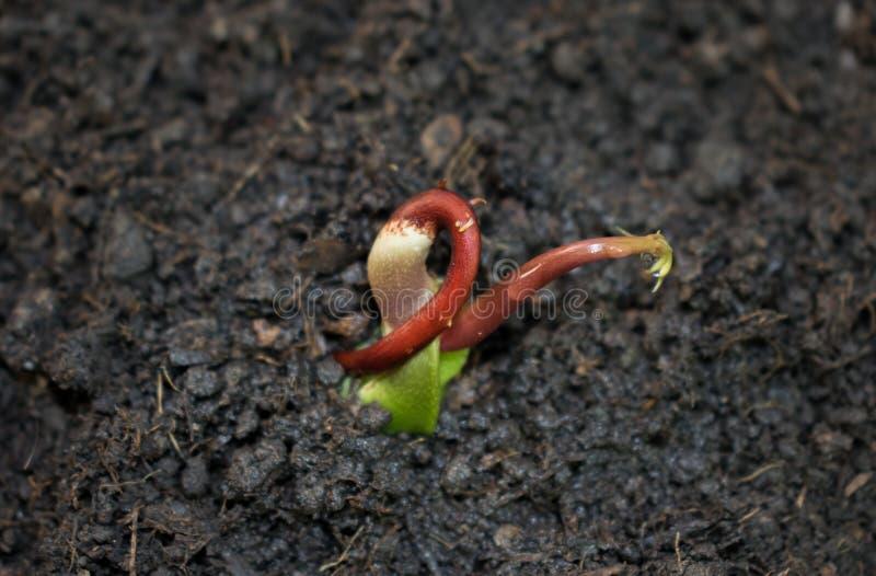Ένας όμορφος σπόρος μάγκο στο στάδιο όπου μπορεί να φυτευτεί Ο σπόρος μάγκο είναι έτοιμος για τη φύτευση στοκ εικόνα