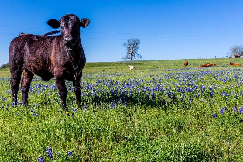Ένας όμορφος τομέας με Bluebonnets και το μαύρο Angus Cow στοκ εικόνες