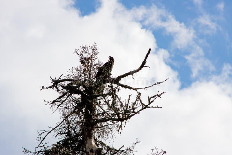 Ένας carrion-κόρακας κάθεται σε ένα ξηρό δέντρο σε έναν ουρανό υποβάθρου στοκ εικόνες με δικαίωμα ελεύθερης χρήσης