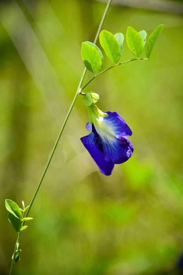 Ένας-Chan λουλούδι στοκ εικόνες