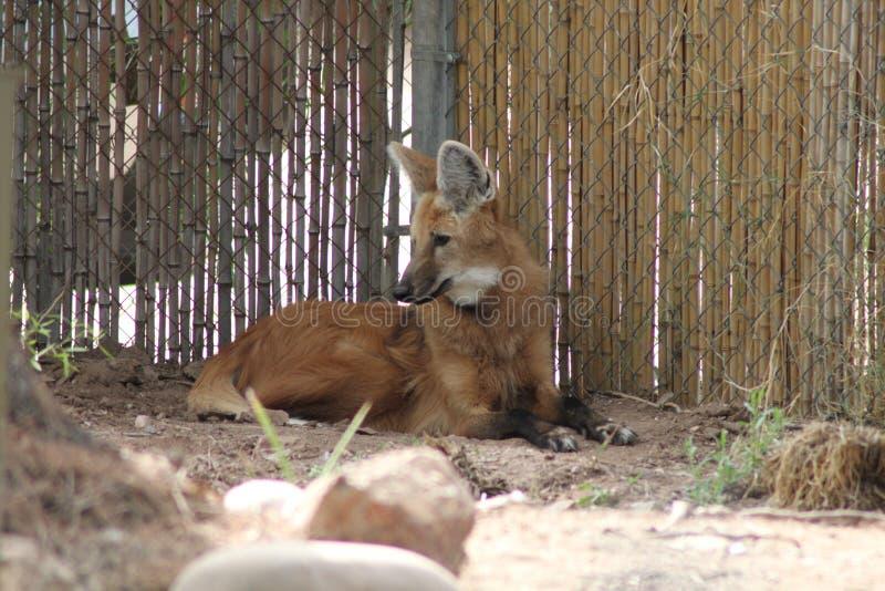 Ένας maned λύκος βάζει από τη γωνία ενός φράκτη στοκ εικόνα