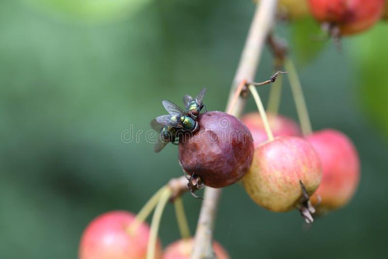 Ένας overripe χυμός της Apple εξιδρώνει, τα οποία καταναλώνουν τις μύγες στοκ φωτογραφίες
