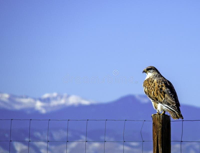 Ένα άγριο γεράκι στο ανατολικό Κολοράντο στοκ εικόνες με δικαίωμα ελεύθερης χρήσης