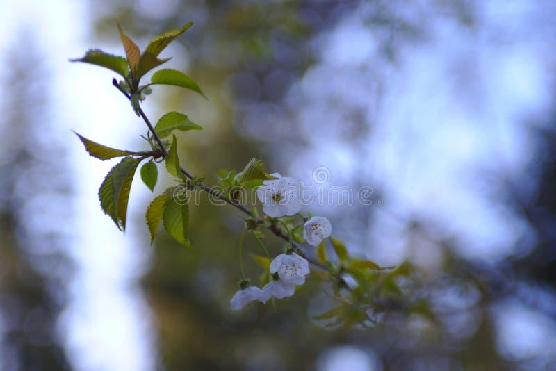 Ένα άγριο κεράσι ανθίζει δέντρο την άνοιξη στοκ εικόνες