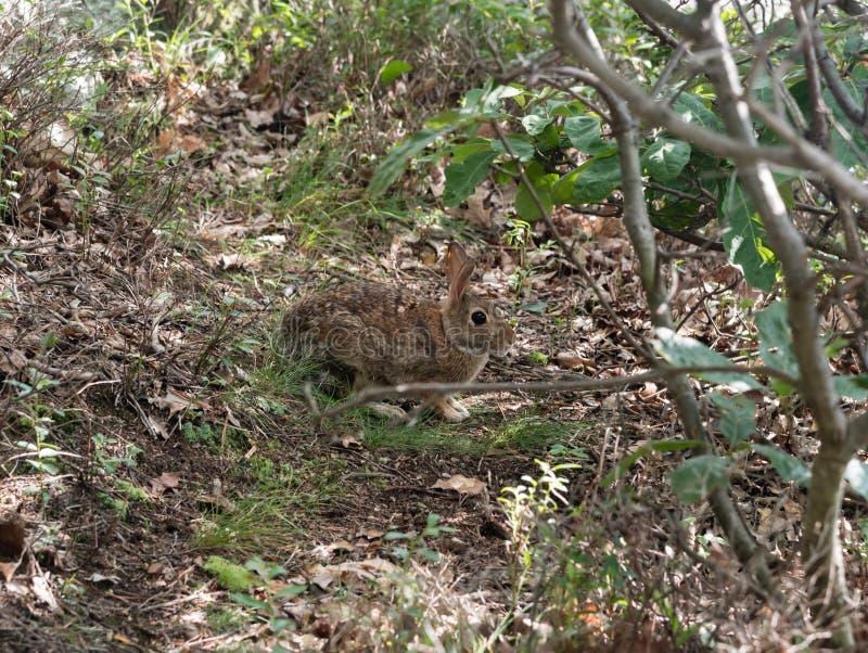 Ένα άγριο κουνέλι στην κονσέρβα Mohonk το καλοκαίρι στοκ φωτογραφία