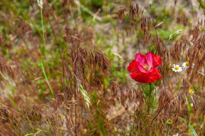 Ένα άγριο κόκκινο λουλούδι παπαρουνών στον τομέα της χλόης κόκκινης βέργας κατά τη θερμή βασική, τοπ άποψη στοκ εικόνα με δικαίωμα ελεύθερης χρήσης