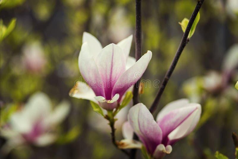 Ένα άνθος magnolia, όμορφη άνθιση άνοιξη για την τουλίπα magnolia tre στοκ φωτογραφία με δικαίωμα ελεύθερης χρήσης