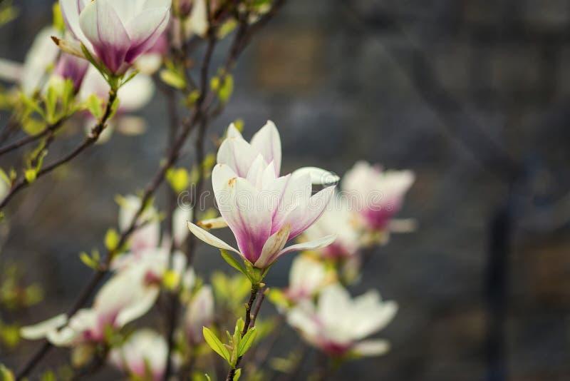 Ένα άνθος magnolia, όμορφη άνθιση άνοιξη για την τουλίπα magnolia tre στοκ φωτογραφίες