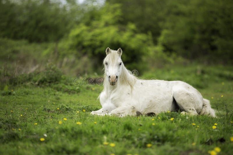 Ένα άσπρο άλογο σε έναν τομέα στοκ εικόνα με δικαίωμα ελεύθερης χρήσης