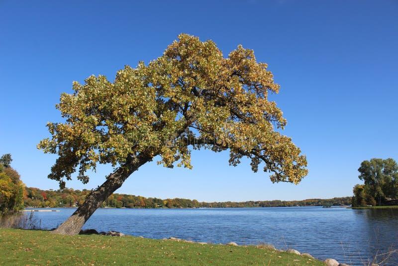 Ένα άσπρο δρύινο δέντρο κλίνει έξω πέρα από το νερό στοκ εικόνες
