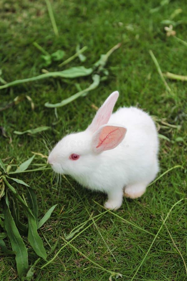 Ένα άσπρο κουνέλι στο χορτοτάπητα στοκ εικόνες