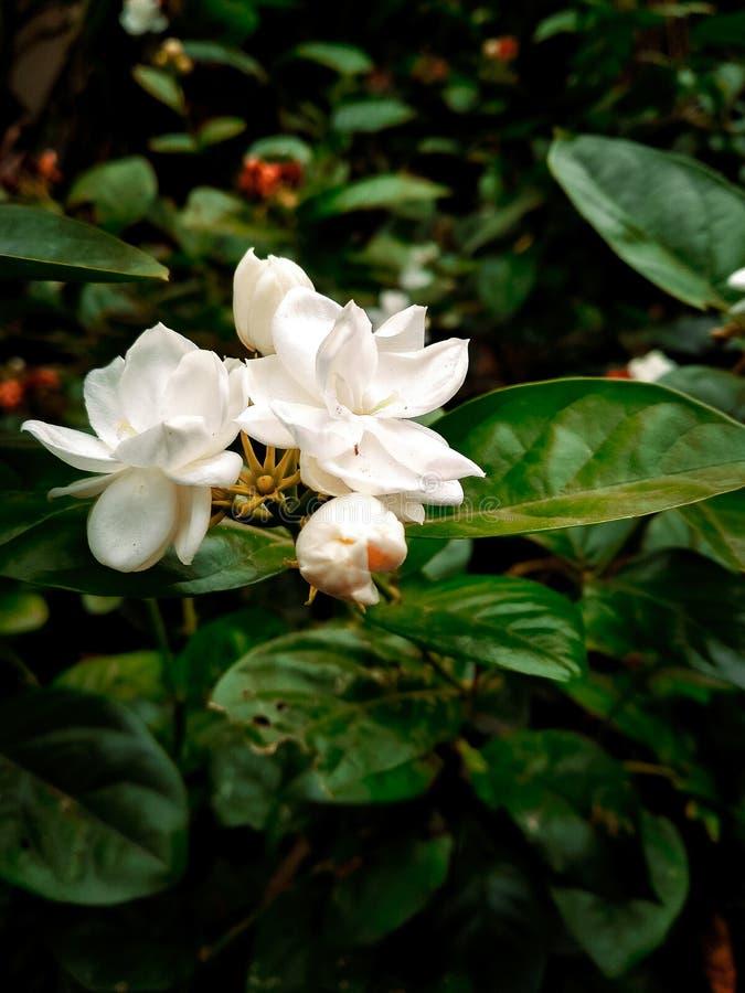 Ένα άσπρο λουλούδι κοιλιών στοκ φωτογραφίες με δικαίωμα ελεύθερης χρήσης