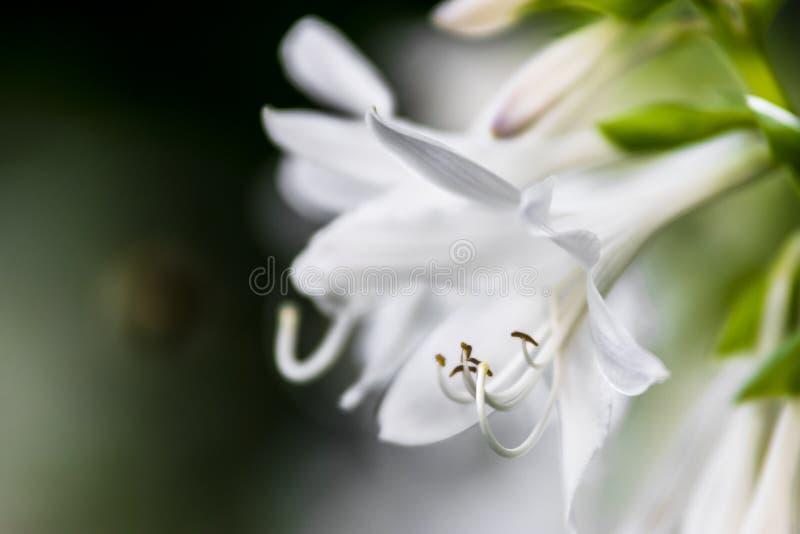 Ένα άσπρο λουλούδι, λεπτομέρεια, Πράγα στοκ εικόνες