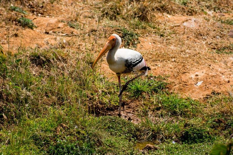 Ένα άσπρο χρωματισμένο πουλί πελαργών που περπατά στο ζωολογικό κήπο βλέπει κοντά να φανεί τρομερό στοκ φωτογραφία