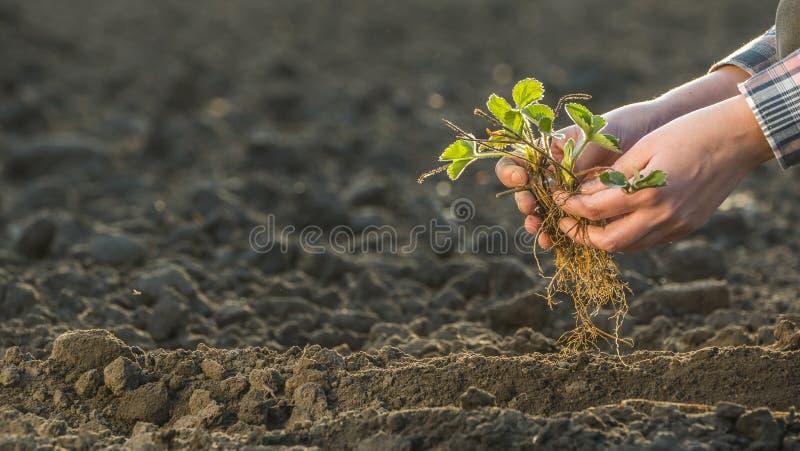 Ένα άτομο κρατά ένα σπορόφυτο φραουλών πέρα από έναν τομέα Εργασία άνοιξη στον κήπο στοκ εικόνες