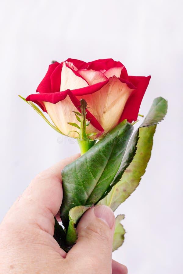 Ένα άτομο κρατά ότι αυξήθηκε στο χέρι του Αυξήθηκε - ένα σύμβολο της αγάπης Ένα wonde στοκ εικόνες με δικαίωμα ελεύθερης χρήσης
