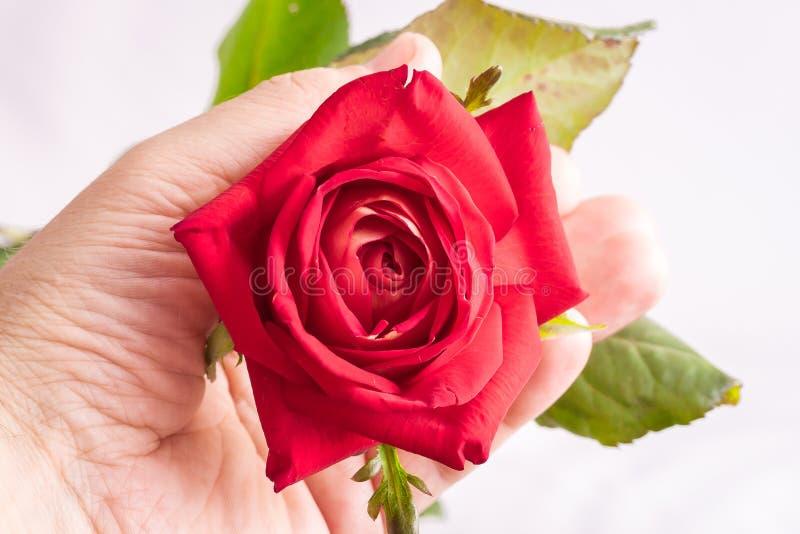 Ένα άτομο κρατά ότι ένα κόκκινο αυξήθηκε στο χέρι του για τους χαιρετισμούς με διακοπές στοκ εικόνες